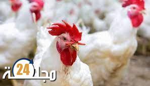 بالفيديو…سبب ارتفاع أسعار الدجاج في الأيام الأخيرة